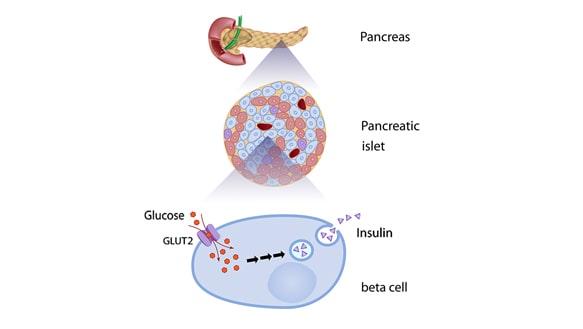Beta Cells and Diabetes - TheDiabetesCouncil.com